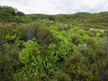 Kærgård Klitplantage, Foto: Kristian Ørsted Petersen