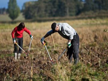 Medarbejdere fra It virksomheden Oracle hjalp til med at rydde elletræer og slå med le ved Elbæk Engen ved Tryggevælde Å, Foto: Kristian Ørsted Petersen